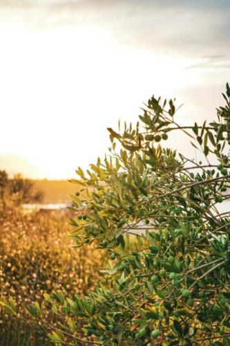 pianta-di-ulivo-sapori-d-abruzzo